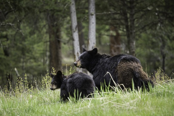 black-bears-yellowstone