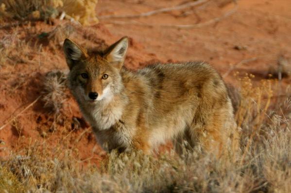 canyonlands-coyote