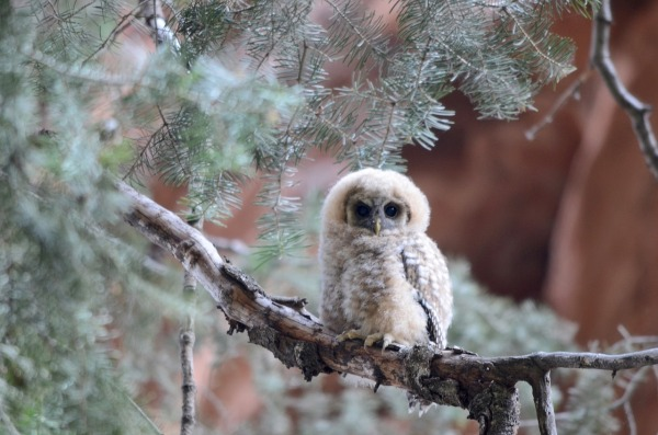mexican-spotted-owl