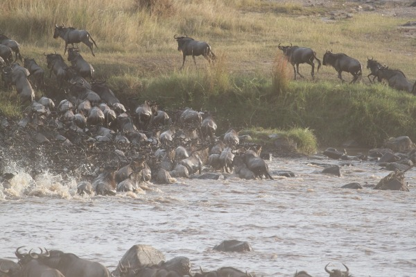 wildebeest-migration-2322111_1280