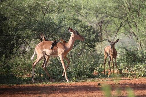 limpopo impala