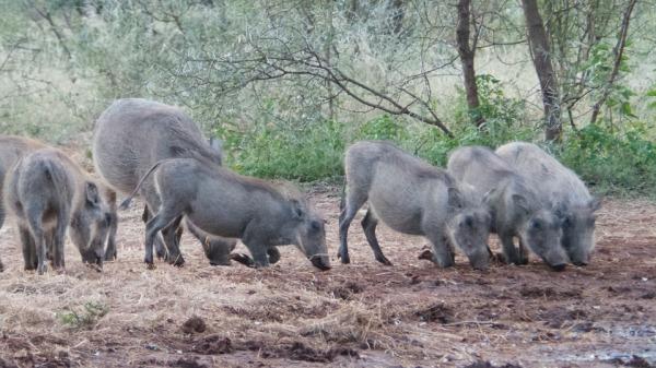 limpopo warthogs