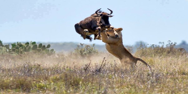 ngorongoro lion-hunting