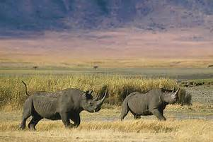 Ngorongoro rhino